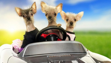 3 Dogs in a Car